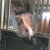Reiterhof Siemes - Cavalo estável - Viersen
